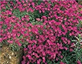 Flower - Rock Cress - Aubrieta deltoidea - Royal Red - 1500 seed - Large Pack