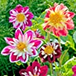 Suttons Seeds 112386 Dahlia Yankee Doodle Dandy Seed
