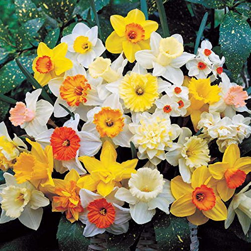 DAFFODIL-MIXED-COLOURS-BED-BORDER-HEALTHY-SPRING-FLOWERS-BULBS-PLANTS