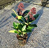 Skimmia Japonica Rubella 25cm Tall - Grown in a 9cm Pot Evergreen Plant Winter Colour