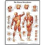 3B Scientific Human Musculature Chart...