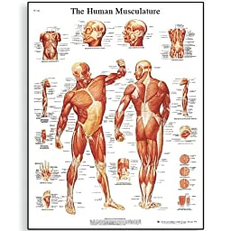3B Scientific VR1118UU Glossy Paper Human Muscle Anatomical Chart, Poster Size 20\