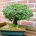 Bonsa� Orme Ulmus parvifola 20cm - 1 arbre