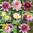 Bloomsz Water Lily Collection - (8 pack)