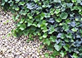 Thorndale English Ivy 48 Plants - Hardy Groundcover