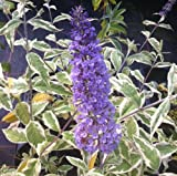 PACK OF 3 Buddleia Davidii Florence - Supplied in a 9cm Pot - Buddleja Butterfly Bush Ready To Plant In The Garden