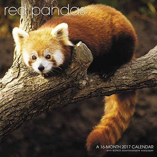Red Pandas Wall Calendar (2017) by Landmark (2016-07-01)