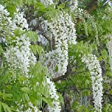 Wisteria floribunda Alba Snow Showers 3 litre pot
