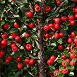 Cotoneaster Horizontalis Shrub Plant in 19/20cm pot. RHS award for garden