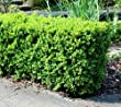 Japanese Boxwood (Buxus) - Live Plant - Quart Pot