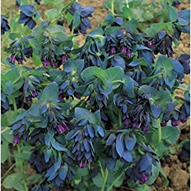 Blue Shrimp Plant Flower 15 Seeds - Cerinthe major