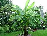 Frostharte Banane Musa basjoo grün 40-60 cm. Enormer Wuchs innerhalb