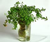 家庭用 ハーブの水耕栽培キット「窓際族」(窓辺でセント・ジョンズ・ワート)