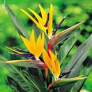 Strelitzia plante oiseau de paradis 1 plante jardin - Oiseau de paradis plante ...