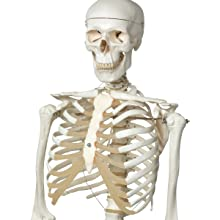 "3B Scientific A10/1 Plastic Human Skeleton Model ""Stan"", On Hanging 5 Foot Roller Stand, 73.2"" Height"