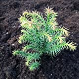Cryptomeria japonica Tilford Gold in 9cm Pot - Dwarf Conifer