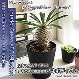 ちょっとお洒落なアイテム パキポディウム 3.5号鉢 【観葉植物】【送料無料】