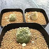 多肉植物:プセウドリトス・クビフォルメ*幅1.5~1.7cm