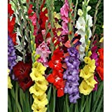 Gladiolus Mixed Flower Bulbs, Best Superior Quality Sold By Seedscare India (8 Bulbs Pack)