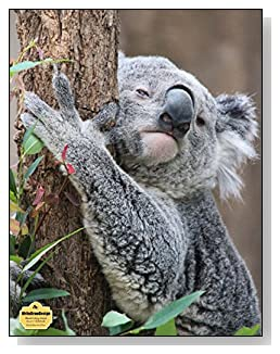 Koala Bear In A Tree Notebook - Photo of a koala bear hugging a tree provides the AWW effect for the cover of this blank and college ruled notebook with blank pages on the left and lined pages on the right.