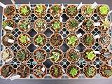 ◇ハオルチア◇おまかせ12種12鉢セット◇2寸鉢◇