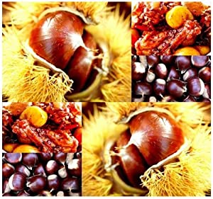 50 Chinese Chestnut Castanea mollissima Nutritious Edible Nuts ~ HARDY TO Zone 4
