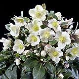 クリスマスローズ(原種交配):*HGCスノーダンス4.5号ポット[開花見込み株][純白の花]