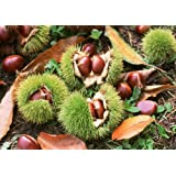 SD2500 American Chestnut Seeds, Castanea Dentata Seeds, Chinkapin Nut Seeds, New Live Seeds (10 Seeds)