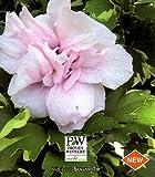Sugar Tip® Hibiscus Rose of Sharon - Creamy/White Tips -Proven Winners
