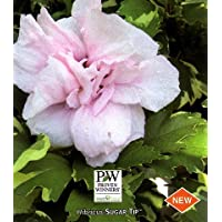 Sugar Tip® Hibiscus Rose of Sharon - Creamy/White Tips -Proven Winners