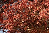 RP Seeds Acer Palmatum Japanese Maple Seeds