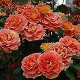 バラ苗 ブラスバンド 国産新苗植え替え6号スリット鉢 フロリバンダ(FL) 四季咲き中輪 複色系