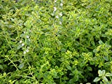 "Mosquito Repelling Creeping Lemon Thyme Plant - 3"" Pot"