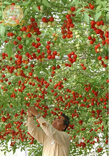 Organic Rome Tomato Tree Seeds, Bulk Pack, 100 Seeds / Pack, Middle Fruit Great Tasty KK026 (Rome Tomato Seeds compare prices)