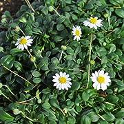 Miniature Fairy Garden Bellium minutum, Miniature Daisy