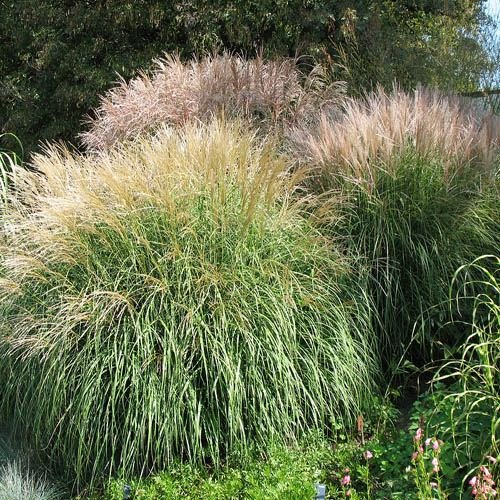 outsidepride-miscanthus-grass-500-seeds