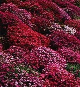 Amazon Com 50 Aubrieta Rock Cress Bright Red Perennial