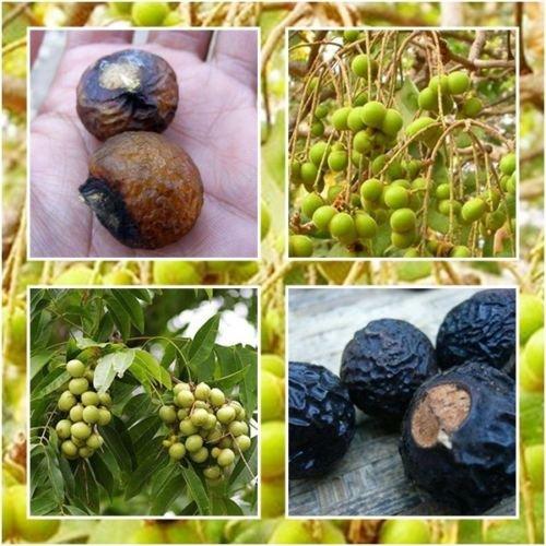 tara-garden-30-seeds-indian-soapberry-soap-nut-tree-sapindus-mukorossi-many-useful-rare-seed