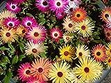 Mesembryanthemum flower seeds - 1 gram