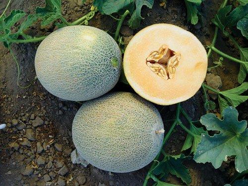 Rare Ananas Melon 20 seeds Heirloom Melon