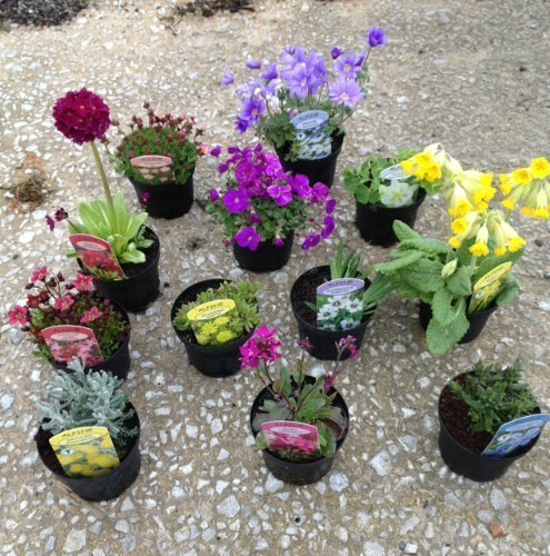 pack-of-12-mixed-rockery-plants-in-9cm-pots-alpine-perennial-collection