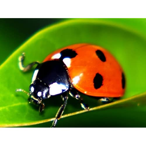 9000 Live Ladybugs & Ladybug Life Cycle Poster - Ladybugs Are Guaranteed Live Delivery!
