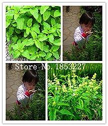 Big sale 100/bag Stevia Seeds, Stevia Herb Seeds, New Live Fresh Seeds, Guaranteed 90%+ Germination