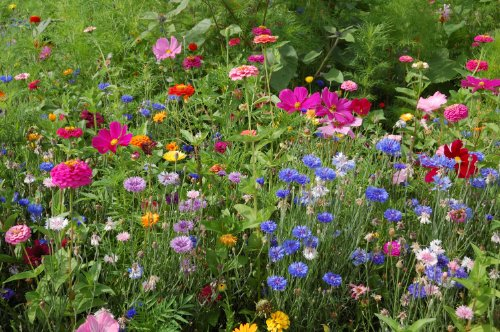 1/2 Pound of Perennial/ Annual Wildflower Seeds Bulk