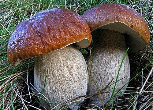 King Bolete Mushroom Seeds