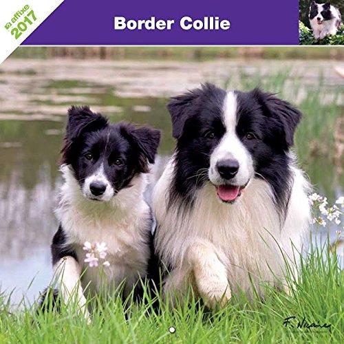 border-collie-2017-calendrier-affixe