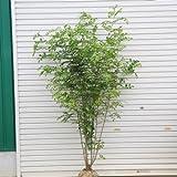 庭木:シマトネリコ(株立ち・大) 樹高:170cm 全高:約180cm