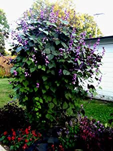 Amazon.com : 10 Seeds Hyacinth bean vine (Dolichos lablab