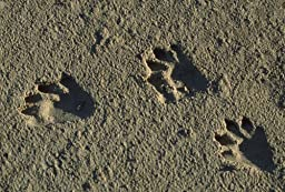 Wallmonkeys WM346813 Raccoon Tracks on Newly Dredged Mud of Wetlands Restoration Project Peel and Stick Wall Decals (24 in W x 16 in H)