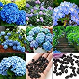 Trenton 50Pcs Multicolor Pepper Organic Chilli Daisy Clematis Hydrangea Plants Flower Seeds (Blue Hydrangea Seeds)